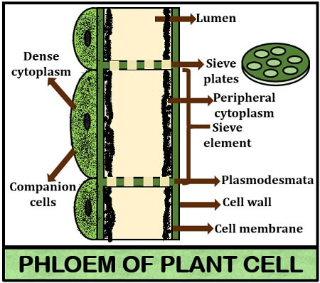Components of phloem