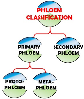 Phloem classification