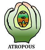 atropous ovule