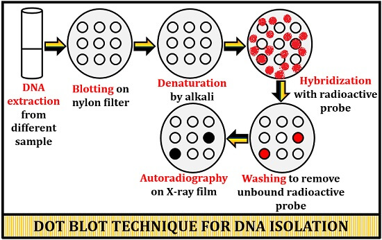 dot blot technique for DNA