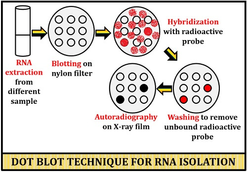 dot blot technique for RNA detection