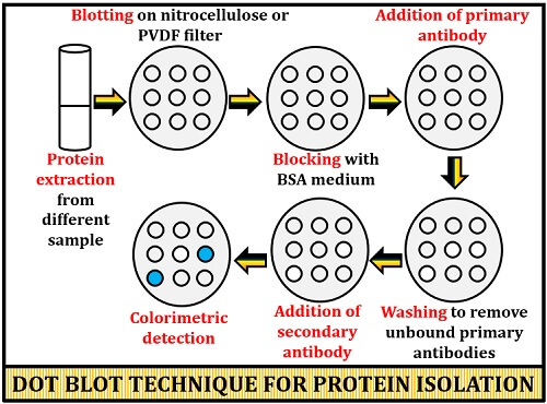 dot blot technique for protein detection