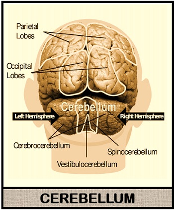 structure of cerebellum