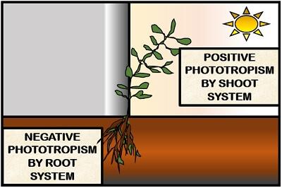 types of phototropism