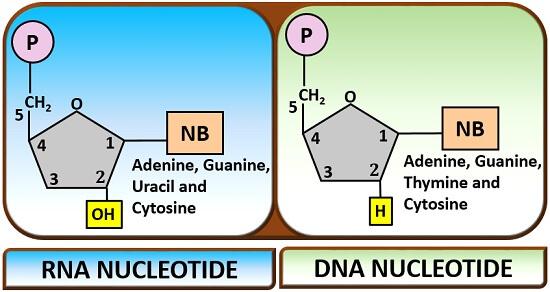 DNA and RNA nucleotides