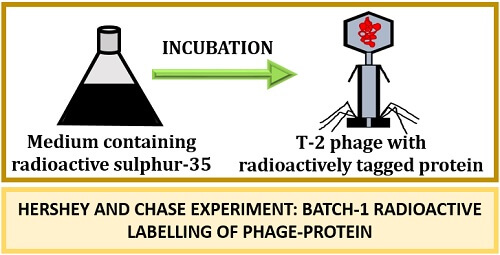 Hershey and Chase Experiment batch1 radioactive labelling
