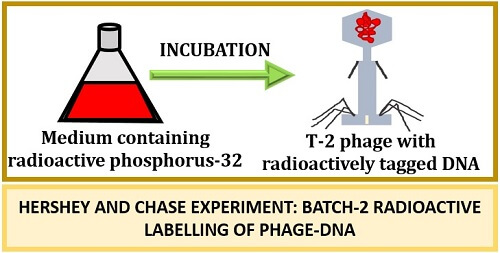 batch2 radioactive labelling in Hershey and Chase Experiment
