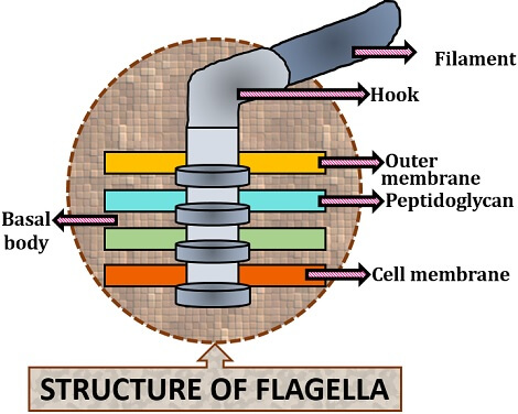 diagram of flagella