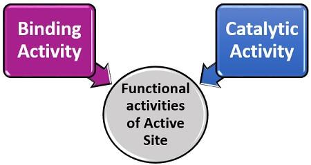 functional activities of active site
