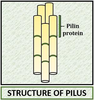 pilus structure