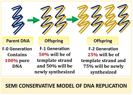 semi conservative model of DNA