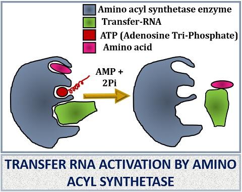 t-rna activation
