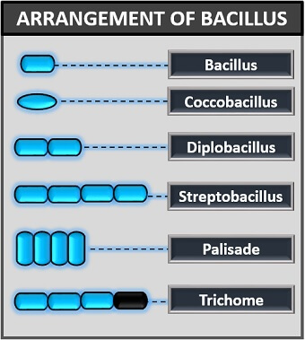 arrangement of bacillus