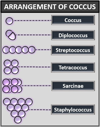 arrangement of coccus