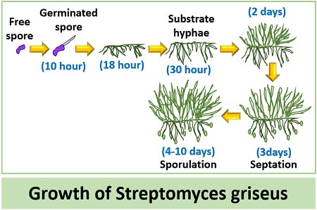 growth of streptomyces griseus