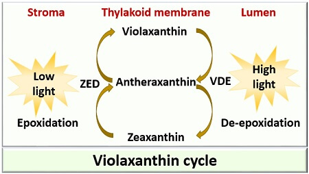 violaxanthin cycle