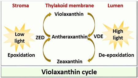 violaxanthin cycle