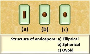 Structure of endospore