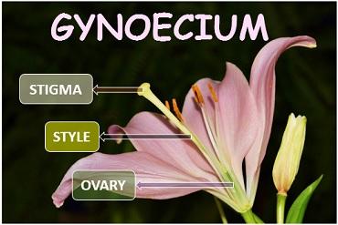 introduction image of gynoecium