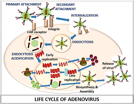 life cycle of adenovirus
