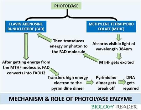 mechanism of Photolyase