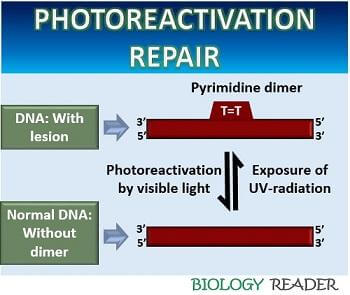 photoreactivation