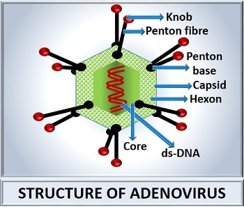 structure of adenovirus