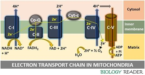 Diagram of electron transport chain