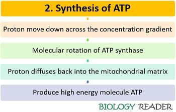 Synthesis of ATP in ETS