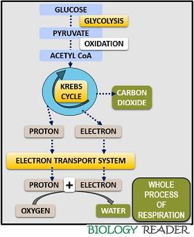 Whole process of Cellular Respiration