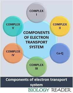 components of electron transport system