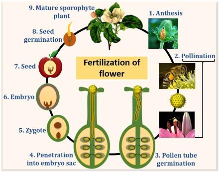 flow diagram of fertilization in plants