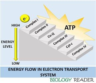flow of electrons in Electron transport system