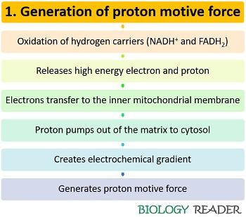 generation of proton motive force in ETC