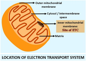location of electron transport system