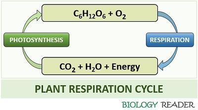 plant respiration cycle