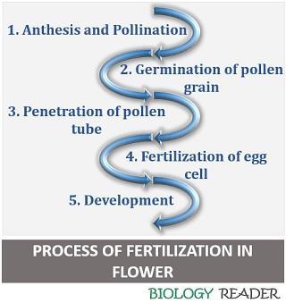 process of fertilization in plant