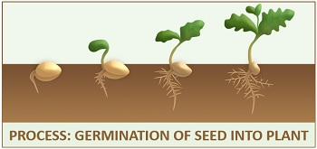 process of plant germination