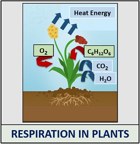 process of respiration in plants