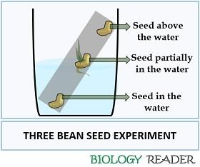 three bean seed experiment