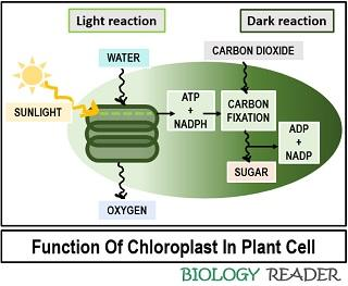 function of chloroplast in plant cell