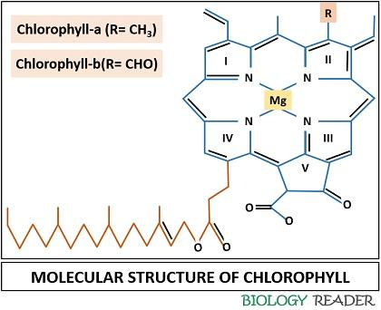 molecular structure of chlorophyll