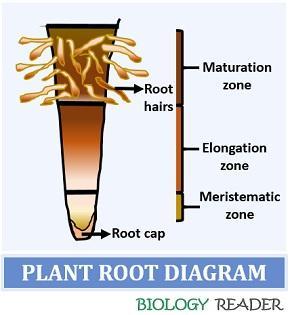 plant root diagram