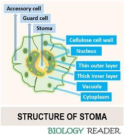 structure of stoma