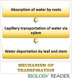 transpiration mechanism