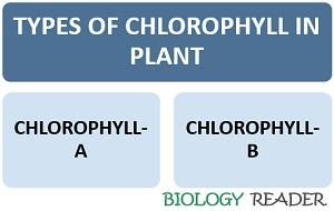 types of chlorophyll in plant