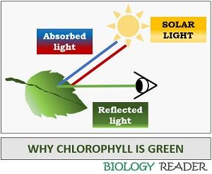 why chlorophyll is green