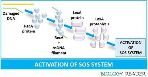 Activation of SOS system