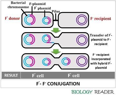 F'-F- conjugation