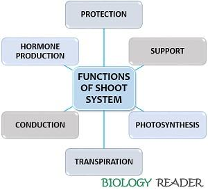 Functions of shoot system